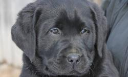 ONLY 2 LEFT Creekkennels currently has CKC registered black labrador retriever puppies for sale. All 2 pups left are going to make outstanding labs. Mom is trained to bird hunt and Dad is great retriever. These will make great hunting dogs as well as pets