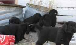7 - Black/Chocolate Lab crossed with American Golden Retriever PUPPIES - 8 weeks old.  Excellent hunting breed, independent and good natured puppies.  4 Female (2 Blk, 2 Blk/Wht/Brn) and 3 Male (Black).  $100 OBO (204) 664-2071 Chatfield, Manitoba