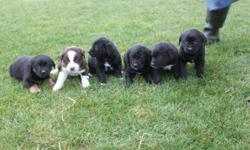 Cute adorable puppies, ready to go at 8 weeks, number to call :604 316 2622