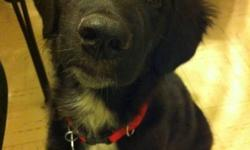 Let me tell you about my dog, Kingston. He's a male Lab x Collie x Shepherd x Husky. He's about 5 and a half months old. He has all his shots until I believe August of next year and he was neutered a couple weeks ago. While very much an energetic and