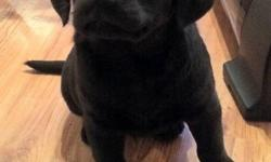 One male and two female lab X pups.  Mother is a lab rotti X and the father is a chocolate lab.  Puppies have had first shots, deworming and been vet checked.  They are very good with people especially kids.  Please call 604-556-6380 for more information.