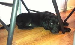One female lab X pup.  Mother is a lab rotti X and the father is a chocolate lab.  Puppies have had first shots, deworming and been vet checked.  They are very good with people especially kids.  Asking $300  Please call 604-556-6380 for more information.