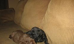 Lab X puppies for Sale - Born on Christmas Day!!! Born in my living room and raised as family members, I think you will love them! The attached photos were taken Jan 17, please email me with any questions and I'll be prompt to answer you. I have girls &