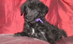 Choose your puppy from our adorable, sweet tempered litter of Labra-shepa-doodles!     These puppies are super friendly and happy little cuddlers.     Stud: Purebred Standard Poodle      Dam: ¾ Black Lab ¼ German Shepherd     Super combination for