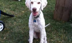 Her name is Shylou, a non-shedding, spayed, Labradoodle that we got from a registered breeder. We are selling her because we no longer have the time to give her and we have a new family member on the way. She needs an active family to go to that will give