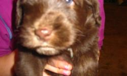 Australian Labradoodle Puppies for sale. Registered with the Labradoodle Association of America, these non shedding little cuties are ready to go to their forever homes anytime. There are chocolate boys and girls and a cream boy available. Bred from