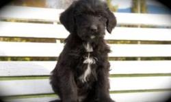 BEAUTIFUL LABRADOODLE PUPS. Really soft and playful. Very low-shedding and Hypo-allergenic Really friendly personalities. Love to play in the grass.  Watch a video of them here http://youtu.be/jinKHNVF_oI Both parents are our pets and have fantastic