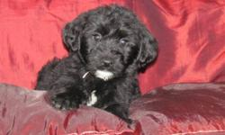 Choose on of our sweet tempered, adorable Labra-shepa-doodles!     These puppies are super friendly and happy little cuddlers.     They are family and home raised, and have been cuddled since birth.     Puppies are black, some with a white splash on