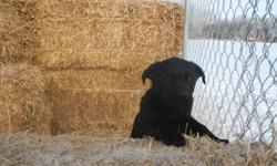We have two healthy puppies available for sale. The mother is a Lab, and the father is a Lab/Shepherd mix. Both are here and both are lovely. We have ONE big yellow females and ONE black female. The yellow one is more timid and the black one is very