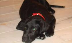 Labrador retrievers, black male, 4 month old. New crate, bowl, leashes.