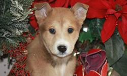These great little guys and Gals are decked out for the holliday season! They have a full set of puppy vaccinations and come with a six week pet insurance. Shelter staff have found these adorable furry bundles to be well socialized and feel they would be