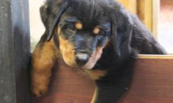 2 Beautiful Male German Rottweiler Puppies available. They come from very large parents. Now Ready to go to their new forever homes! These 2 Puppies are as sweet as can be. They have been bottle fed since 2 weeks old. They come with 1st shots, Dewormed,