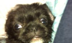 Delivery available in London area. Beautiful pug/shitzu/Boston terrier puppies ready to go to a forever home! This ad was posted with the Kijiji Classifieds app.