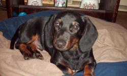 I am an adorable male black and tan dachshund puppy who is looking for my forever home. I am 13 wks old, my birthday is July 7/11, and I have been dewormed and have had my first and second shots(next set due in a month) and have had 2 doses of