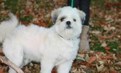 """Very cute Lhasa Apso looking for a new home! """"Patches""""is 8months old, house broken and all needles are up to date! Great with children and other dogs."""