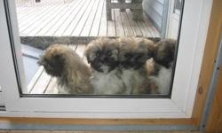 CARHO KENNELS has CKC Registered Lhasa Apso Puppies ready for new homes, puppies ,have been vet checked,crate trained and well on their way to being house trained. they go home with written guarantee and 6 weeks of free insurance.All puppies sold on a