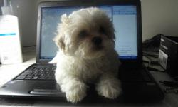 The little guy is very popular designer breed that many people refer to as TEDDY BEARS  or Shichon. Shichon are primarily a mix of the Bichon Friese and the shih Tzu.  The combination of the two breeds bring out the best Qualities of both. one of the