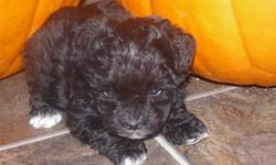 One cute little male Shih tzu/Yorkie puppy left for sale. Born on September 18th and is 7 weeks old. Has 1st shots, been dewormed and vet checked. Included with Scotty is a puppy pack, blanket and vet card. He is papertrained as well. Paige is a 5lb black