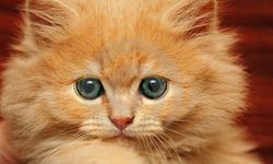"""Looking for kitten around Christmas (December 20th-25th)  that is around 8 weeks old (no younger) that is Himalayan or long-haired """"fluffy"""" orange.  If you have an upcoming litter around that time please let me know."""