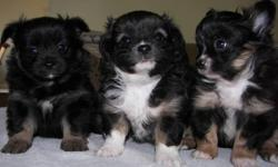 Beautiful markings and personalities. Ready to go around Dec 1st. All females.