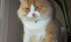 Beefy is estimated to be almost 2 yrs old.  He has been residing with me for almost a year now and came to me as a stray hanging around my house.  He is cat and dog friendly as long as they realize he is not a toy to be roughed with, he is NOT afraid of