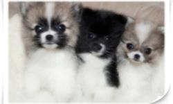 DON'T MISS YOUR CHANCE AT OWNING ONE OF THESE POM POM POMERANIAN BEAUTIES! THEY ARE JUST SO BEAUTIFUL WITH PLUSH FUR, BIG BUTTON EYES, AND SHORT TEDDY BEAR FACES! TRUE PURSE PUPS AND SO SWEET AND LOVING. THESE BABIES WILL MELT YOUR HEART. THEY LOVE TO