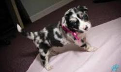 I am looking for a border collie x australian shepherd mix. I have the summers off and was hoping to get a puppy in June. Just wondering if there are any breeders that are planning on having puppies available around this time Thanks for your time