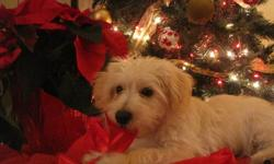 Lovely little blonde morkiepoo (maltese, yorkie, poodle )male for sale. Has had a vet exam ,1st shots,dewormed and advantage. He is in excellent health! wonderful nature socializes with people and other animals .Uses pads to void and has started to go