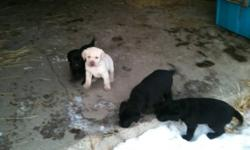 Lab puppy's 4 black 1 gold This ad was posted with the Kijiji Classifieds app.