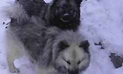 hi, if any one have keeshond male . plz call me i want for breeding  only. i been looking a male for so long . I can buy or just use for breeding.