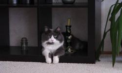 """5 year old male neutered grey and white long haired cat. His name is Fausto (we call him """"Fausti""""). He's friendly, and loves treats and belly rubs. He went missing late Friday night, September 30 from Mt. Crandell Cresc. W. Please contact me if you have"""
