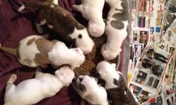 a litter of 7 american bulldog puppies born on november 30th 5 left. 2 female and 3 males female 1 is white and brindle female 2 white and brown male 1 white and greyish brown with patch between eyes male 2 all white male 3 all white with a small black