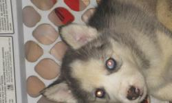 We have 1 female purebread Siberian husky pup looking for home. they have have her shots and been vet checked.playful loving girl, will make a great addition to anyones home. we are asking 650 obo per pup please dont e mail us with ridiculous low ball