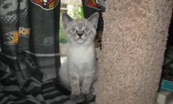 One beautiful female lynx point Siamese kitten left. Very playful and social, has been raised with other animals and children. litter box and scratch post trained. Mother is seal point siamese and father is lynx point cross with ragdoll. Last picture is