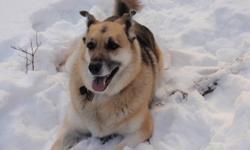 My 6 year old Shepherd Cross needs a loving home. She is active and loves long walks and water. She has been a very loyal companion to me but is best suited for a single person with no children. Please call with any questions.
