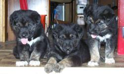 We have 1 female and 1 male puppy. The mother is a Golden Retriever / German Shepherd cross and the father is an Alaskan Malamute. Both the mom and dad live with us along with one of their puppies from a past litter. The puppies have had their first set