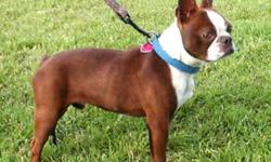 I am looking for a Male Boston Terrier. Would prefer a Adult but I will buy a Puppy too... Colors I want are Brindle, Reverse Brindle, Blue, Red, Chestnut, Splash or a Black Brindle with A LOT of White... I Will not buy a Black And White!!! PREFER A