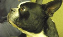 20 lbs black and white PB male intact boston terrier    super sweet boy great with other dogs   has just had his rabies distemper and bordatella vacines was wormed with dolpac 2 times now micro chipped.    loves all people good with kids. he likes to go