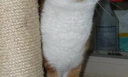 Breed: Tabby - Orange Domestic Short Hair - orange and white   Age: Adult   Sex: M   Size: L Velcro is a handsome and friendly guy. He's always looking for a cuddle and a belly rub. Velcro is a mellow cat and would likely do well in just about any home,
