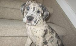He just turned 8 weeks. He has already had his first shot and dewormings done. Gorgeous guy, last one from a litter of 12.Ready to meet his new family!! Mom is a Mastiff and dad a Catahoula. Asking $500. Seriuos inquierers please contact me with any