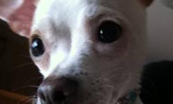 My name is peanut i am Adorable, smart, loyal and i love kids and other pets! I am pee pad trained and also like to go outside to do my business As long as it's not too cold outside I am very small and dont have much hair :) I love to go for walks on and