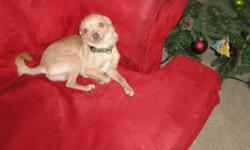 I have two unaltered male chihuahuas available for sale.  It is unfortunate that I have to part with them but they are practically living in their crate and it's totally unfair to them.  One is a fawn colored deer headed male, approximately one year old,