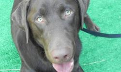 T Male Labrador Retriever, Chocolate color. 20 months old. Purebreed CKC. Large breed, 88 lbs. Green eyes. Very smart, well behaved, Loyal,Trained. Been around guns shooting,shows exc signs of hunting skill. Been socialize with all dogs, off leash parks.