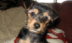 Male Chihuahua/Yorkshire Terrier Cross looking for his forever home. He is 13 weeks old and has been vet checked, dewormed and had his1st & 2nd sets of shots. He will be about 8-10lbs when fully grown. He is a playful little guy that needs a home without
