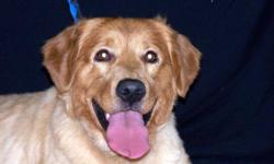 Breed: Nova Scotia Duck-Tolling Retriever Labrador Retriever   Age: Young   Sex: M   Size: L Please meet Cruise, a handsome Little River mix who will steal your heart. Not only is this fella gorgeous, he's quite smart too as he already knows sit and down
