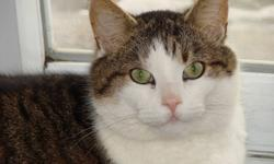 Great personality - will go outside but stays close to home - he is an indoor cat all winter, lol. Has his claws but doesn't claw where he shouldn't - stays down from counters and tables and furniture but loves to cuddle when invited. Approx 4 yrs old -