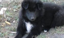 Male Pekine se x Sheltie pup Long haired, Will stand about 12 in at the hip and weigh about 20 lb when grown. Ringo is black with a white blaze on his chest. He loves to be outside to play or run around the acreage. He is associated with other dogs,