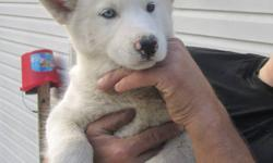 Hi! My name is Max.  I am 8 weeks old and need a family. I'm pure white with bi-eyes (one blue,one brown). I have a gentle nature and can be a little shy, but I love to play. I like kids and other dogs. I need a family who will spend lots of time with me.