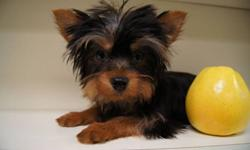 he is european blood line ,import from  hungary, he  3/5 bl , 7 mounth old , we feed royal cain for yorkie , he good trained paper. out side  too.... if interess call 416 614 0904 jimmy