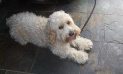 I have a blonde 4 year old male schnoodle (schnauzer-poodle) for free.. He is an non allergetic dog, weighs 15 lbs and is not neutered. Rabies shot due. He sometimes does not get along with male dogs, especially when theres a female dog around. He is a
